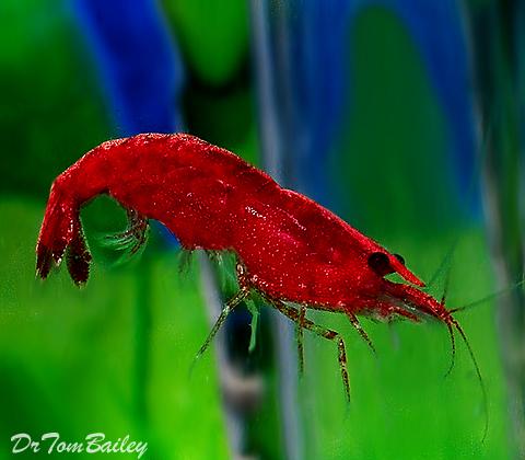 Premium Red Sakura Shrimp