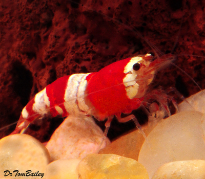 Premium Red and White Crystal Shrimp