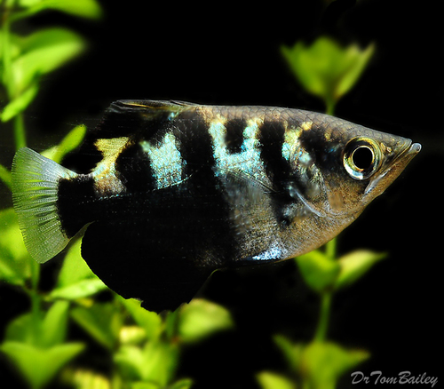 Premium WILD, Archer Fish