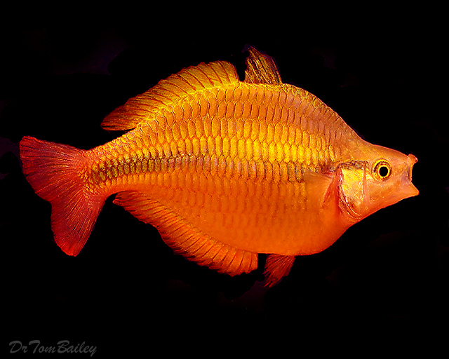 Premium Lake Tebera Yellow Rainbowfish
