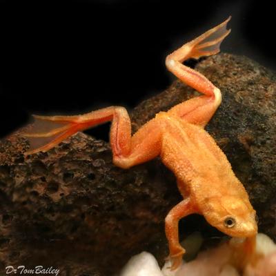 Premium Rare Golden African Dwarf Frog
