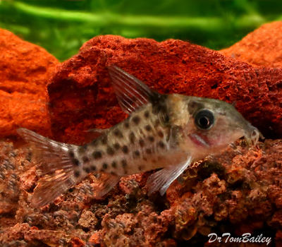 Premium WILD, New and Rare Ambiacus Corydoras Catfish