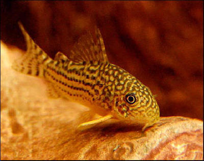 Premium Sterbai Corydoras Catfish