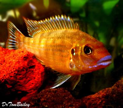 Premium New Pseudotropheus Williamsi, Blue Lips Mbuna Cichlid