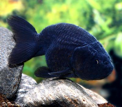 Premium Rare Black Ranchu Goldfish