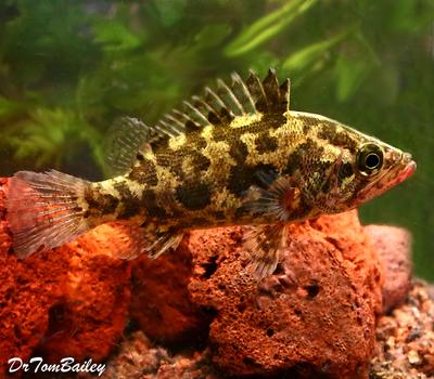 Premium Rare Nandus Leaf Fish