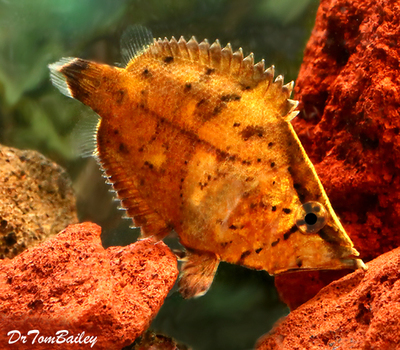 Premium WILD, Really Rare True South American Leaf Fish