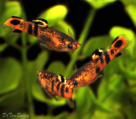 Premium MALE, New & Rare, Picta Livebearer, Nano Fish