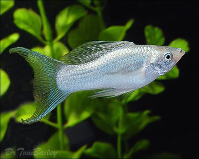 Premium Silver Lyretail Molly