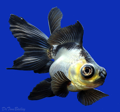 Premium New Rare, Panda Butterfly-Tail Goldfish