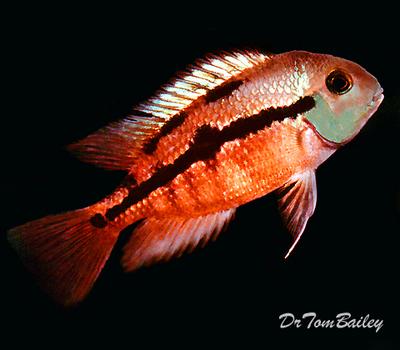 Premium Sunset Nicaragua Cichlid