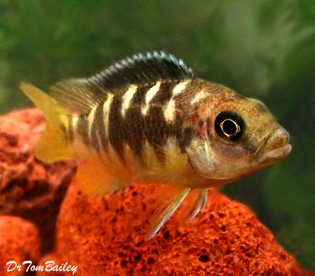 Premium Bumblebee Mbuna Cichlid from Lake Malawi in East Africa