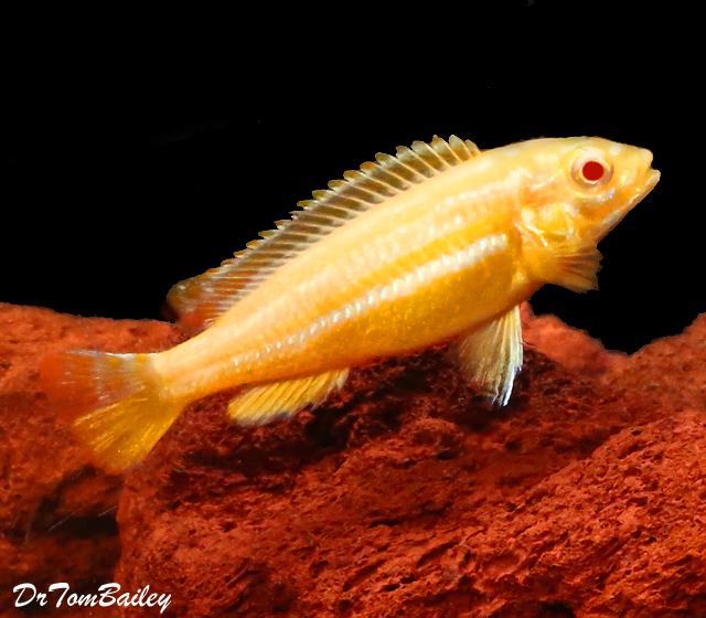 Premium Rare Lake Malawi Albino Melanochromis Auratus Mbuna Cichlid