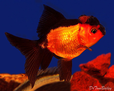 Premium Rare Red and Black Oranda Goldfish