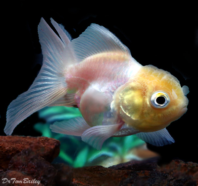 Premium Rare Pearl White Oranda Goldfish