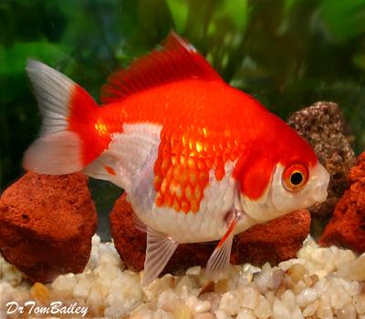 Premium Red & White Short-Tail Ryukin Goldfish