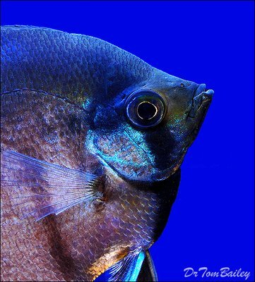 Premium Black Lace Veiltail Angelfish