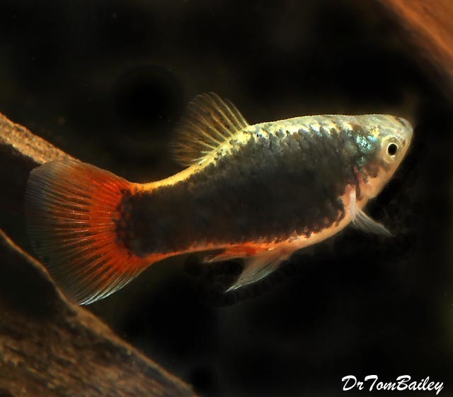 Premium Red Tail Black Coral Platy