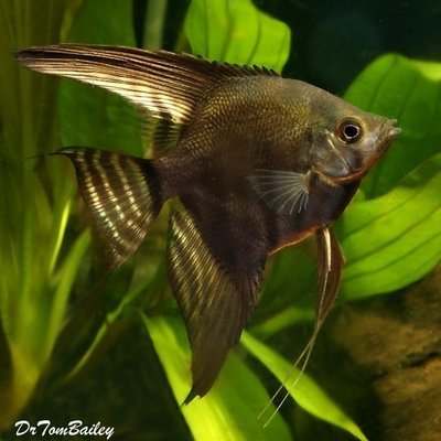 Premium Black Lace Angelfish