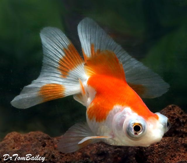 Premium Red Red & White Butterfly-Tail Telescope-Eye Goldfish