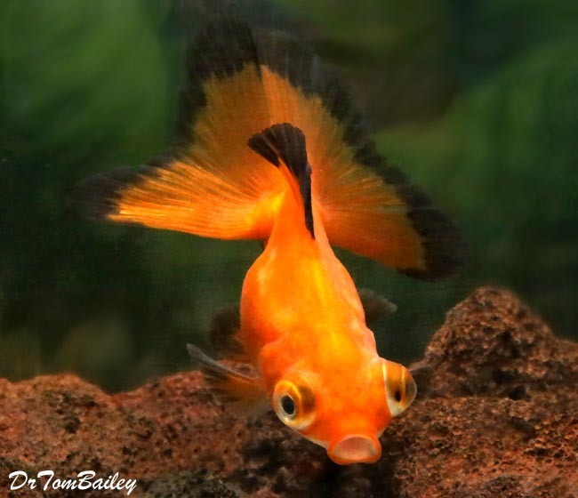 Premium Rare Red Butterfly-Tail Telescope-Eye Goldfish