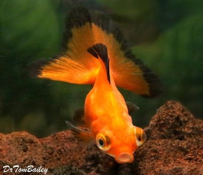 Premium Rare Red Butterfly-Tail Telescope-Eye Goldfish
