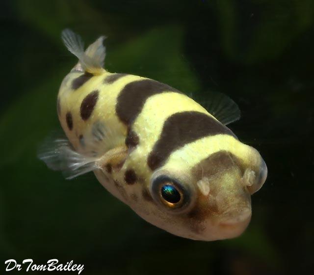 Premium WILD, Ceylon Pufferfish