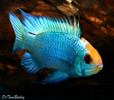 Premium New and Rare, Gold Cap Electric Blue Ram Cichlid