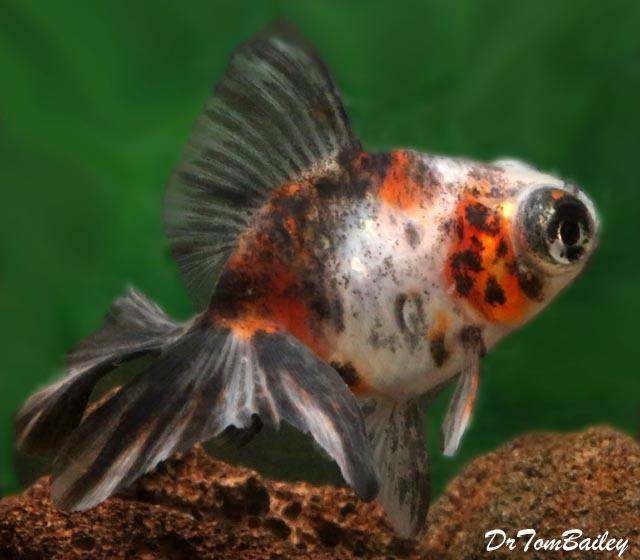 Premium Rare Calico Butterfly-Tail Telescope-Eye Goldfish