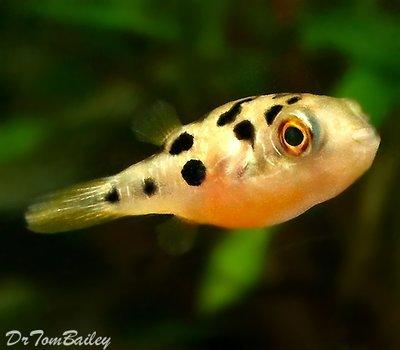 Premium WILD, Freshwater Dwarf Pufferfish, Nano Fish