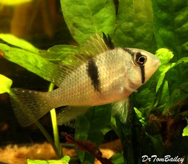 Premium Rare and New Bandit Cichlid, Acarichthys geayi