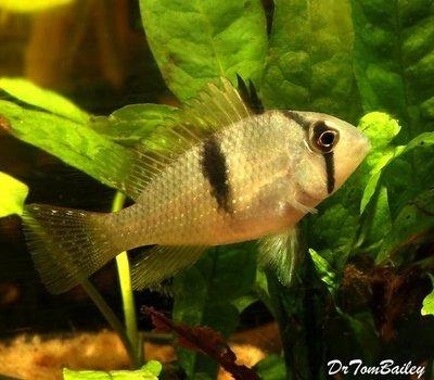 Premium Rare and New Bandit Cichlid, Acarichthys geayi