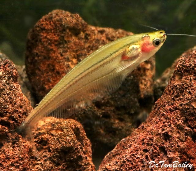 Premium Rare New, Striped Yellow Glass Catfish