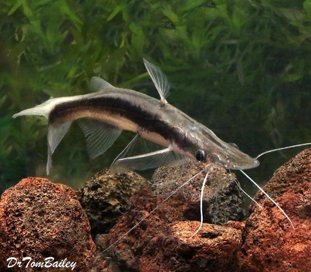 Premium WILD, Lima Shovelnose Catfish