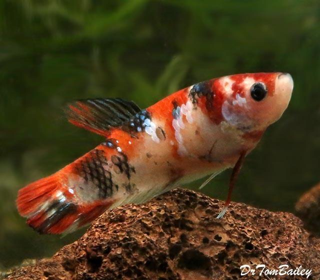Premium FEMALE Rare Showa Koi Betta Fish