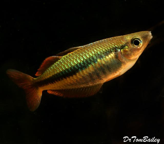 Premium Rare and New, Alleni Wapoga Rainbowfish