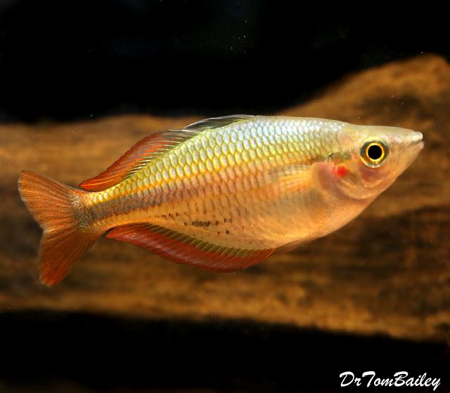 Premium New and Rare, Aru II Rainbowfish