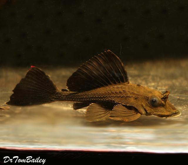 Premium WILD, Rare and New, Rhino Plecostomus Catfish