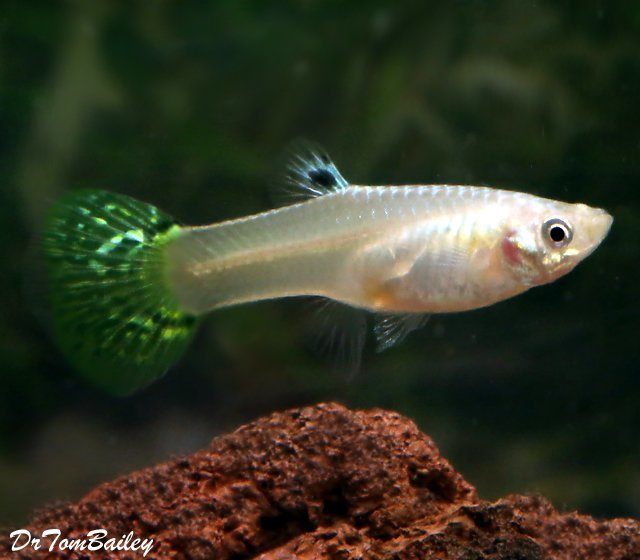 Premium FEMALE Green Cobra Fancy Guppy