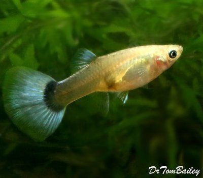 Premium FEMALE Metallic Blue Fancy Guppy