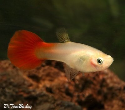 Premium FEMALE Coral Red Fancy Guppy