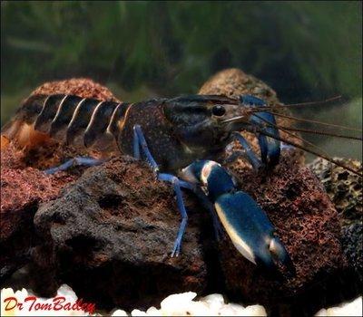 Premium Rare Marbled Blue Lobster