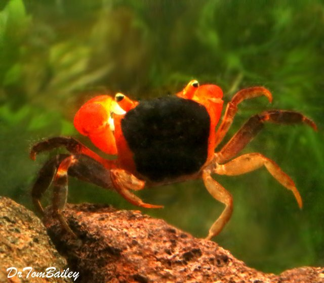 Premium Freshwater Red Apple Crab