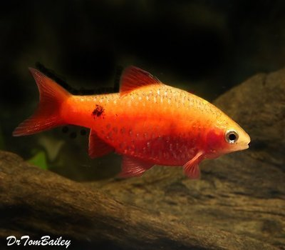 Premium Red Glass Rosy Barb