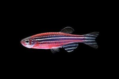 Premium Starfire Red Striped GloFish Danio