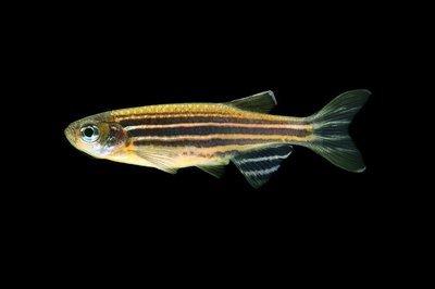 Premium Sunburst Orange Striped GloFish Danio