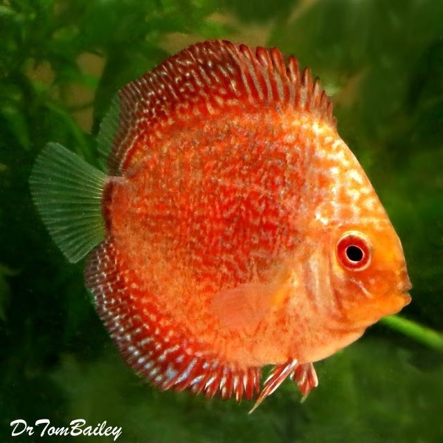 Premium Rare New, Red Eagle Discus
