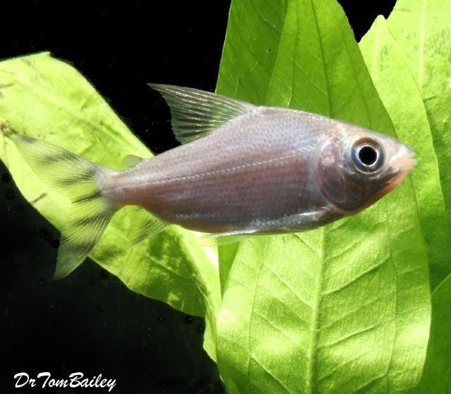 Premium Redfin Prochilodus, Semaprochilodus taeniurus