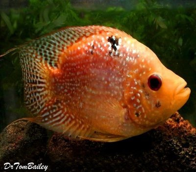 Premium Very Rare and New, Deep Body Red Texas Flowerhorn Cichlid