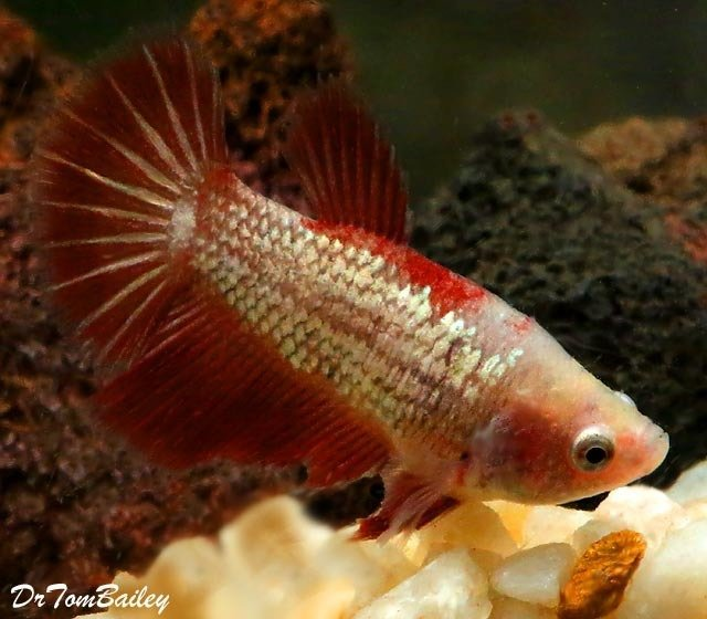 Premium FEMALE Rare Assorted Dragonscale Betta Fish